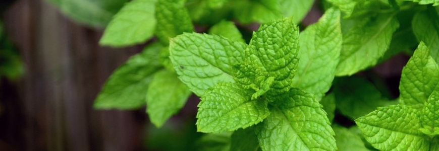 Peppermint Essential Oil - The Ultimate Pain Relief Remedy