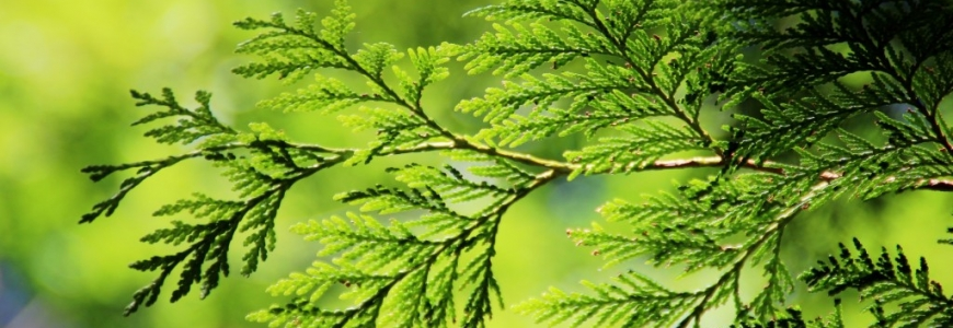 Thuja Essential Oil - The Powerful and Natural Cure for Skin Infections