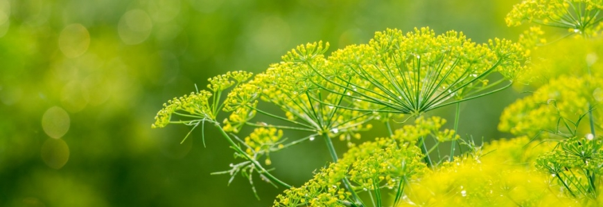 Fennel Essential Oil – The Spearheading Remedy to Relieve Digestive Problems