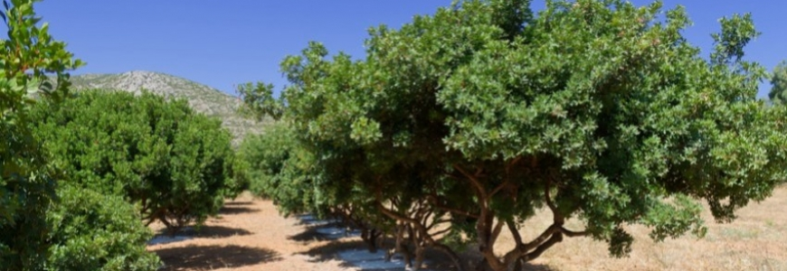 Mastic tree and its resin benefits