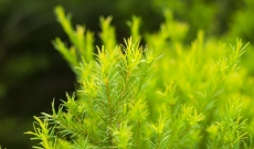 Positive Effects of Tea Tree Essential Oil for the Skin