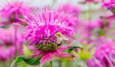 The Effective Antifungal Aspects of Monarda Essential Oil