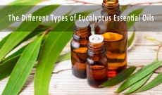 The different types of Eucalyptus Essential Oils and Their Benefits