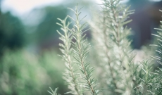 Respiratory Benefits of Rosemary Essential Oil